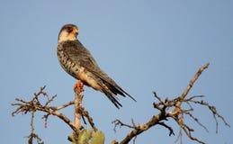 Faucon d'Amur Photographie stock libre de droits