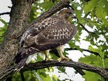 Faucon dans l'arbre de chêne Photos libres de droits