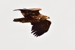 Faucon dans l'habitat normal Photos stock