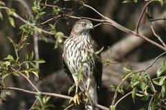 Faucon dans la carrière de attente de buisson Photos stock