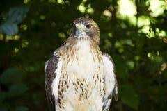 Faucon dans la forêt Photographie stock