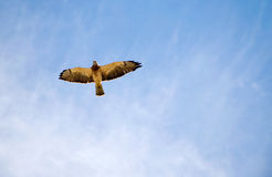 Faucon dans le ciel Image stock