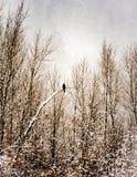 Faucon dans une tempête de neige Photo libre de droits