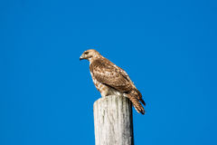 Faucon de Brown Photo libre de droits