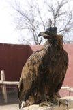 Faucon de chasse dans le musée de fauconnerie image libre de droits