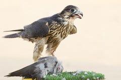 Faucon de chasseur Photos libres de droits