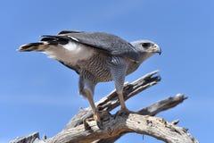 Faucon de désert Photo libre de droits