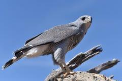 Faucon 2 de désert Photo stock