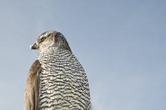 Faucon de faucon pérégrin Images libres de droits