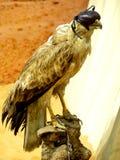 Faucon de fauconnerie avec le pli d'abat-jour Image libre de droits