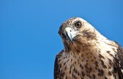Faucon de Galapagos Photo libre de droits