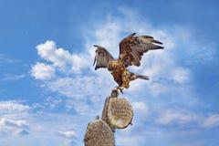 Faucon de Galapagos sur Santa Fe Photographie stock