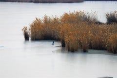 Faucon de harrier de Norhter près du lac Siilent près du fort de BaiTong images libres de droits
