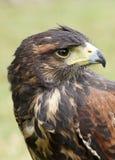 Faucon de Harris Photographie stock