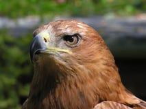 Faucon de Harris Photos libres de droits