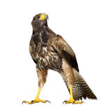 Faucon de Harris Image stock