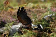 Faucon de Harris de chasse images libres de droits