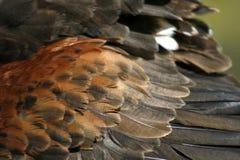 Faucon de harris de plumes d'oiseau Photos stock