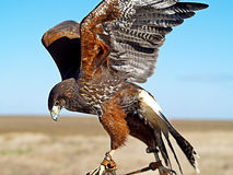 Faucon de Harris sur une main de fauconnier photos libres de droits