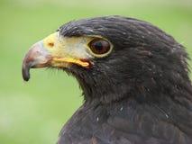 Faucon de Harris (unicinctus de parabuteo) Images libres de droits