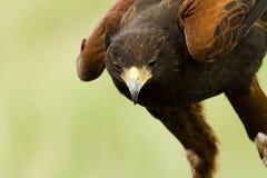 Faucon de Harriss photo libre de droits