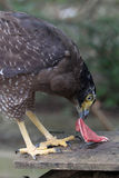 Faucon de Javan Photos stock