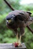 Faucon de Javan Photo stock