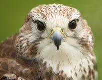Faucon de Lanner Image libre de droits