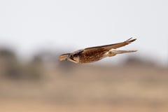 Faucon de Lanner en vol Photographie stock