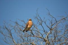 Faucon de marais se reposant dans un arbre Photographie stock libre de droits