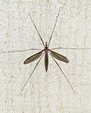 Faucon de moustique Photographie stock libre de droits