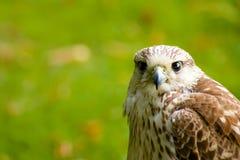 Faucon de Pereguine Photos stock