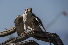 Faucon de prairie Photo libre de droits