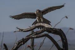 Faucon de prairie Images libres de droits