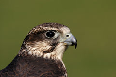 Faucon de Saker Photo stock