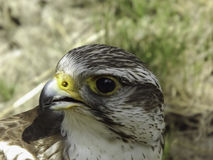Faucon de Saker (cherrug de Falco) photographie stock libre de droits
