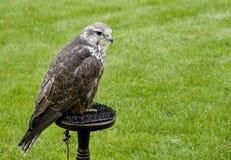 Faucon de Saker (cherrug de Falco) photographie stock