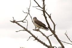 Faucon de Swainson dans un arbre image stock