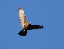 Faucon de vol photographie stock libre de droits