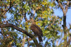 Faucon-Eagle variable, cirrhatus de Nisaetus Hawk Eagle crêté Kanha Tiger Reserve, Madhya Pradesh, Inde images stock
