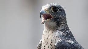 Faucon effrayant images libres de droits