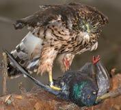 Faucon et sa victime Image libre de droits