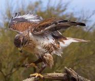 Faucon ferrugineux Photo libre de droits
