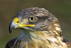Faucon ferrugineux images libres de droits