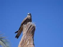 faucon fier Photo stock