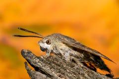 Faucon-mite de colibri photos stock