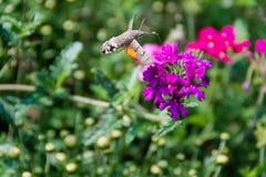 Faucon-mite de colibri photo libre de droits