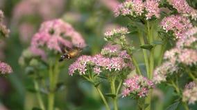 Faucon-mite de colibri clips vidéos