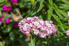 Faucon-mite de colibri d'insecte, stellatarum de Macroglossum suçant le nectar de l'oeillet de fleur chinensis photographie stock
