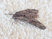 Faucon-mite de convolvule, convolvuli d'Agrius sur le mur profil photographie stock